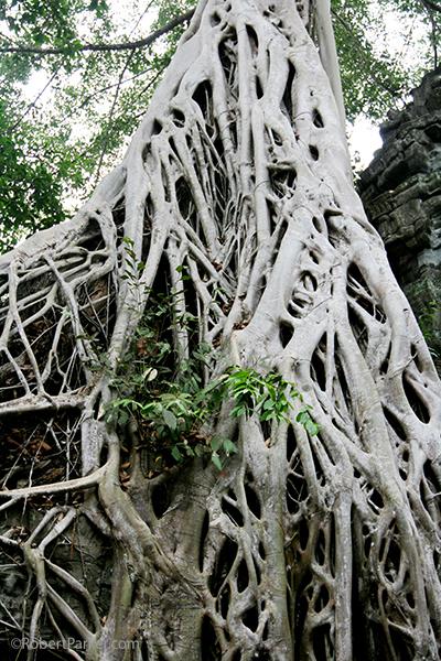 https://robert-parker-content-prod.s3.amazonaws.com/media/image/2016/09/14/b8e698b3f8554c80b3f5b5a59a1c65ee_Angkor+lava+tree+FINAL.jpg