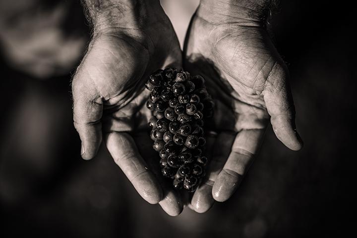 https://robert-parker-content-prod.s3.amazonaws.com/media/image/2018/05/10/4a8e5d849b644149b7f44674866dd32d_Harvest+Grape+Cluster.jpg
