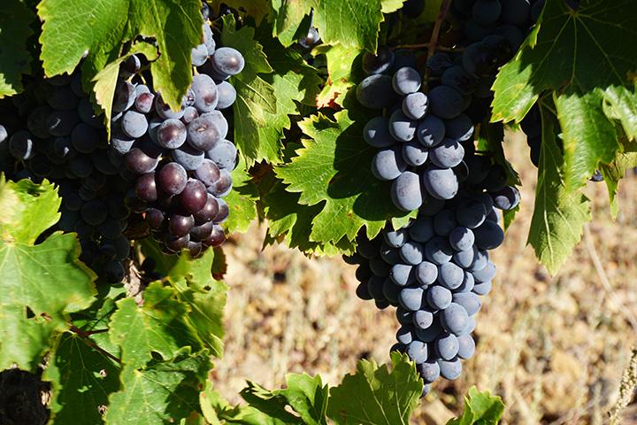https://robert-parker-content-prod.s3.amazonaws.com/media/image/2019/02/21/d4fb3ef2254346b7b5b433994e59742a_Catalan-Grapes-PC-Jacob-Dean.jpg