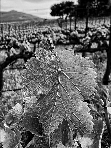 https://robert-parker-content-prod.s3.amazonaws.com/media/image/2020/05/02/47db087242ba4092a310e0dd4ecee322_6-phylloxera-grapevine-vineyard-oldvine-pandemic.jpg