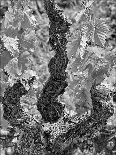 https://robert-parker-content-prod.s3.amazonaws.com/media/image/2020/05/02/d48d807e35fb46499b78c9158dcedace_7-phylloxera-grapevine-vineyard-oldvine-pandemic.jpg