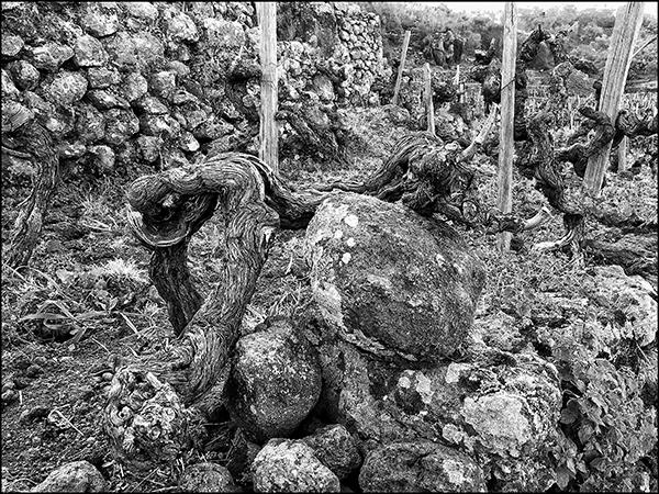 https://robert-parker-content-prod.s3.amazonaws.com/media/image/2020/05/02/f34461d9f88e41a98b03da7e47aec6be_5-phylloxera-grapevine-vineyard-oldvine-pandemic.jpg